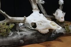 Whitetail Deer - 001