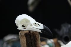 Raven - 004