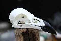 Raven - 015
