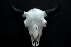 Bison - 047