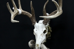 Whitetail Deer on Driftwood - 049